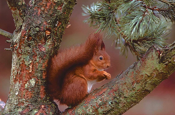 Red squirrel in tree by Jim Wilson